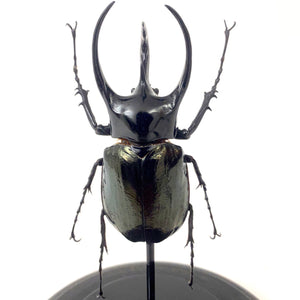 Three horned rhinoceros beetle in glass dome .