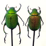 Striking Pair of male and female of emerald  green jewel beetles in a vintage glass dome.