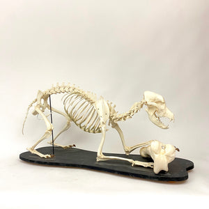 Large articulated Vetinary school skeleton of a large canine .