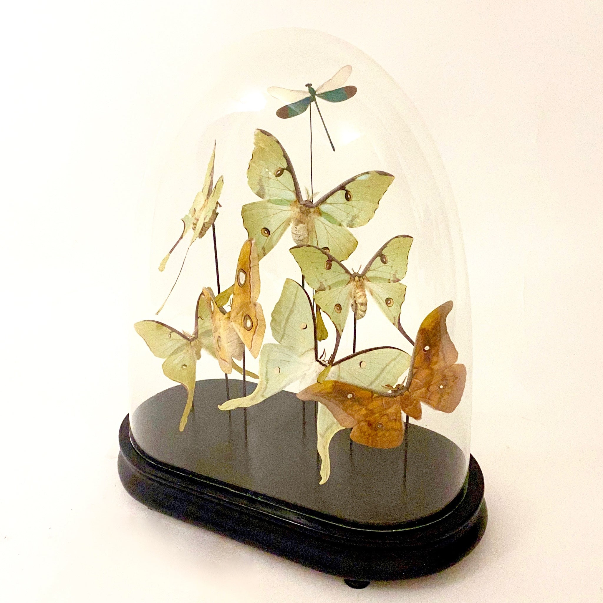 Stunning lepidoptera display in oval victorian glass dome.