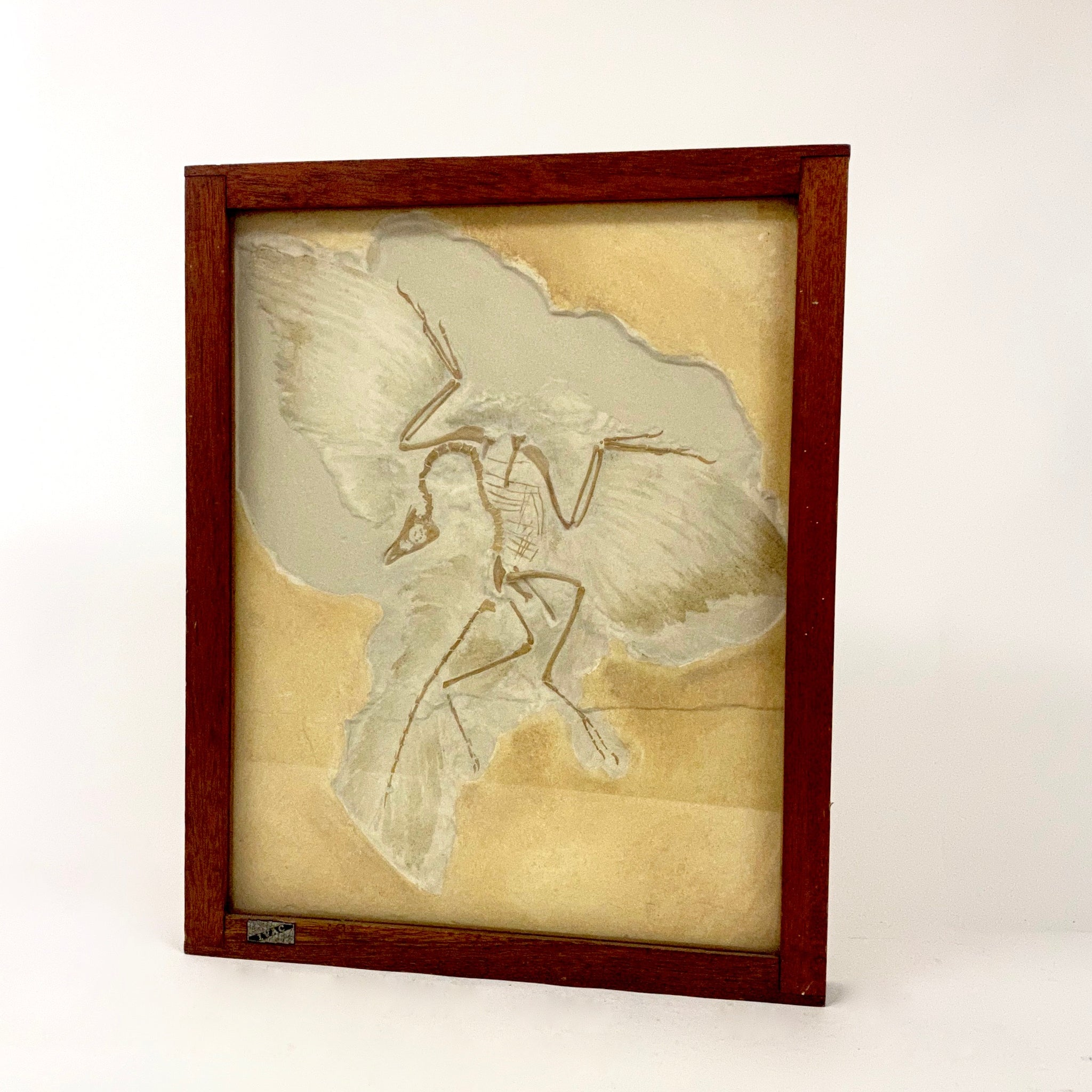 Framed cast of the famous Archaeopteryx fossil circa 1960 .