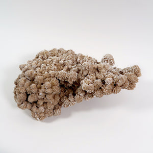 Large and decorative Mexican desert Rose cluster .
