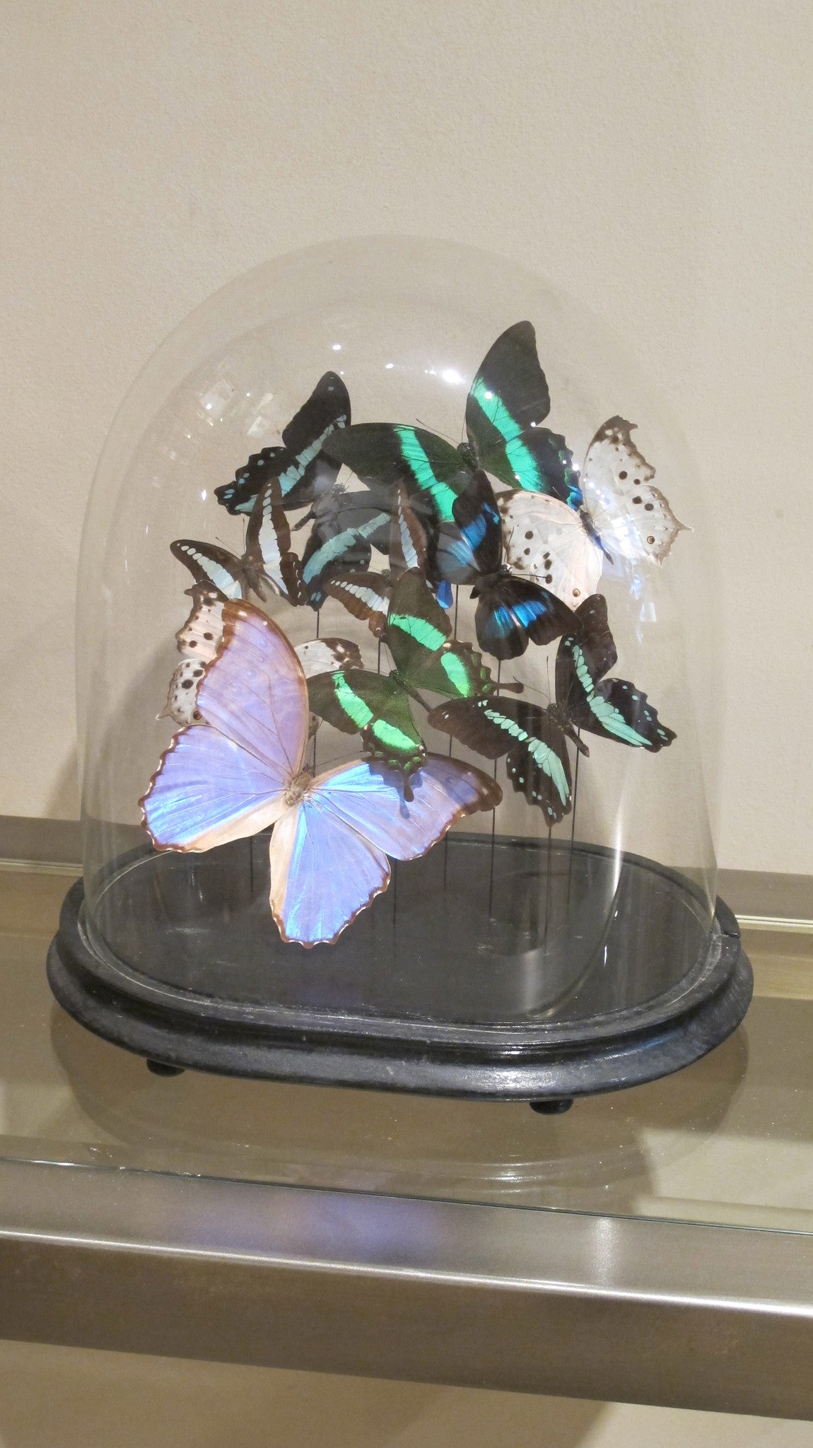 Butterfly display in victorian glass dome