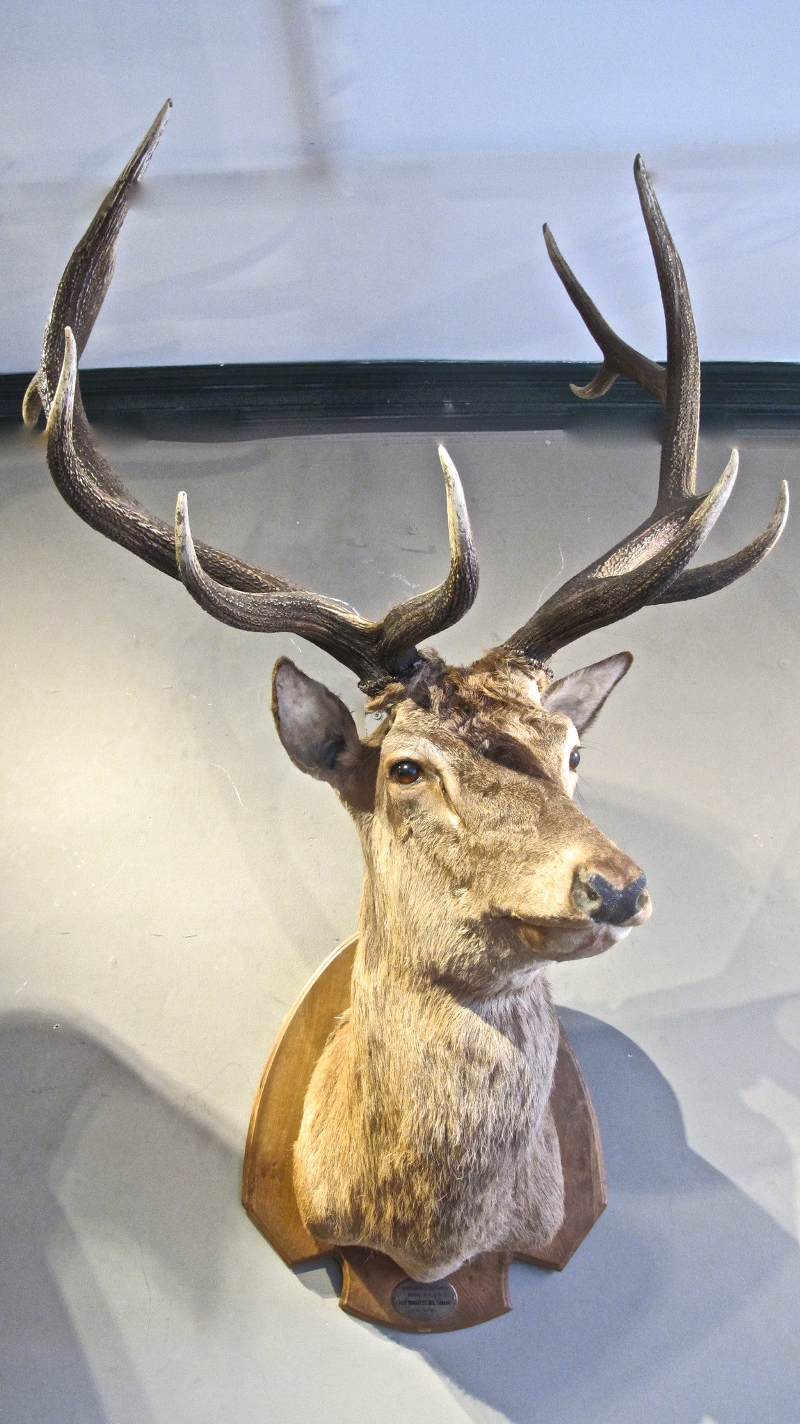 An extremely impressive and beautifully modelled taxidermy specimen of a stag.