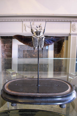 X Mounted Goliath beetle in a Antique Bell Jar