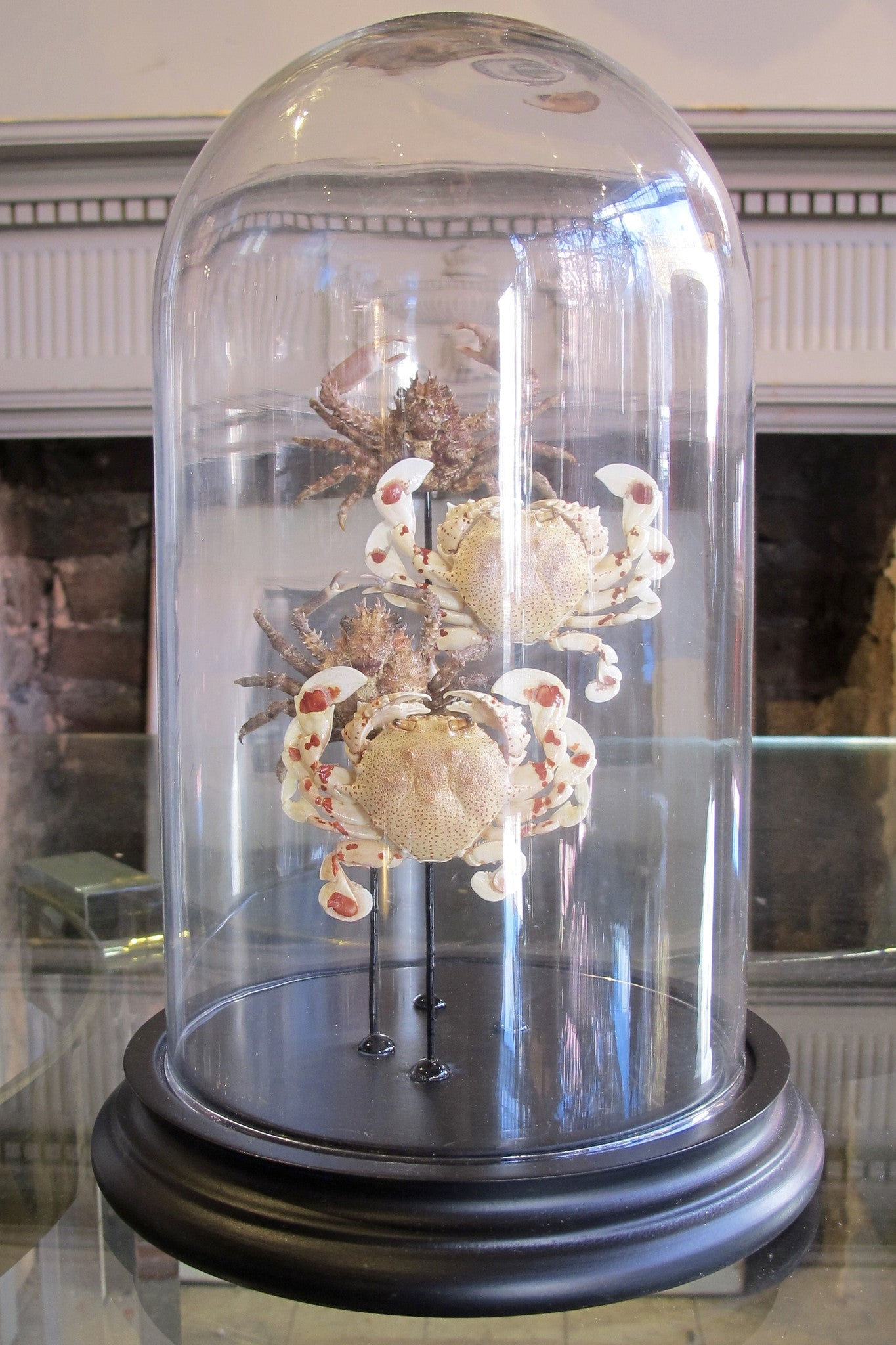 X Mounted Crabs in a Bell Jar
