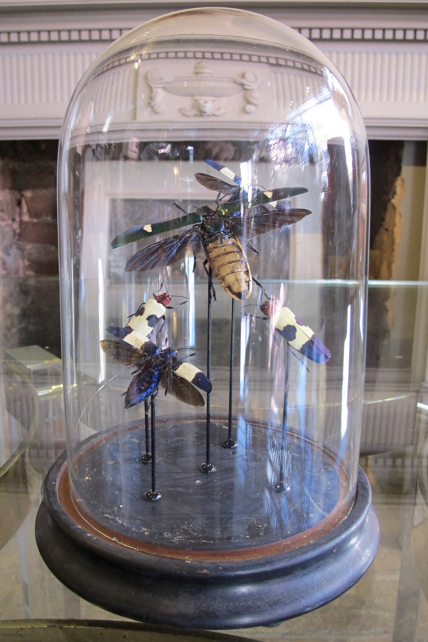 X Mounted Jewel Beetles in a Antique Bell Jar