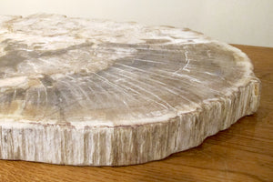 X Spectacular and huge slice of petrified wood.