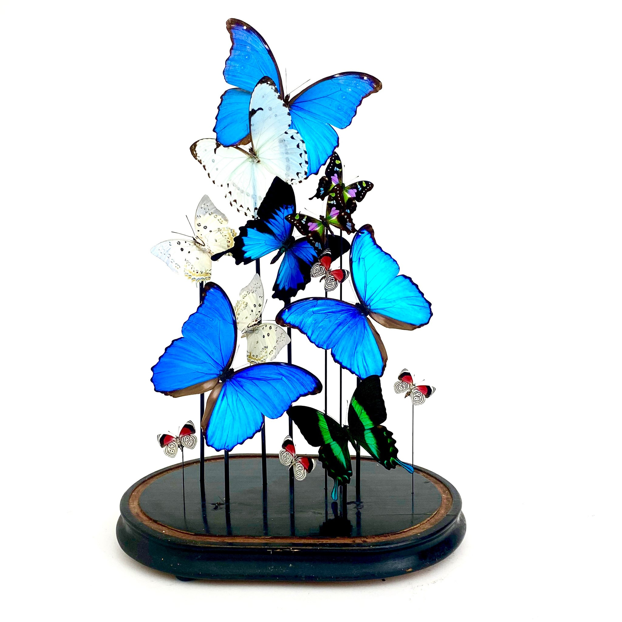 Large and decorative butterfly display in victorian glass dome .