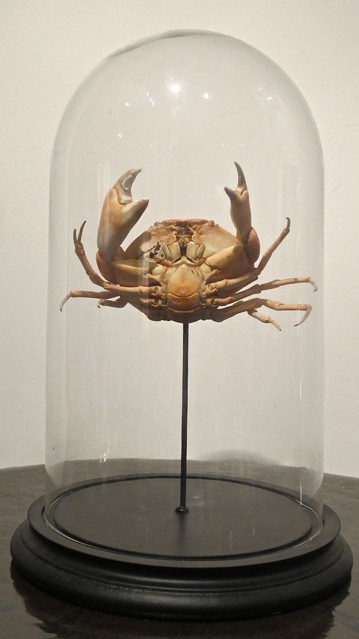 X Taxidermy Crab in a Glass Dome