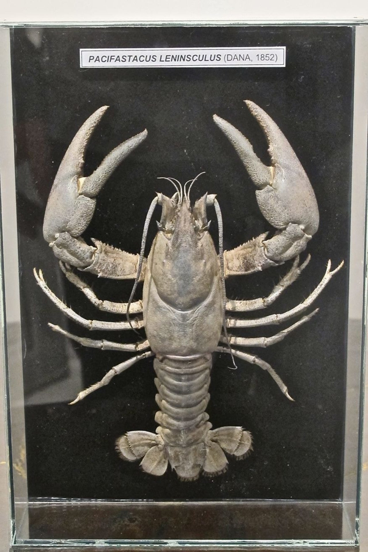 Framed Taxidermy Crayfish in Frameless Glass Case