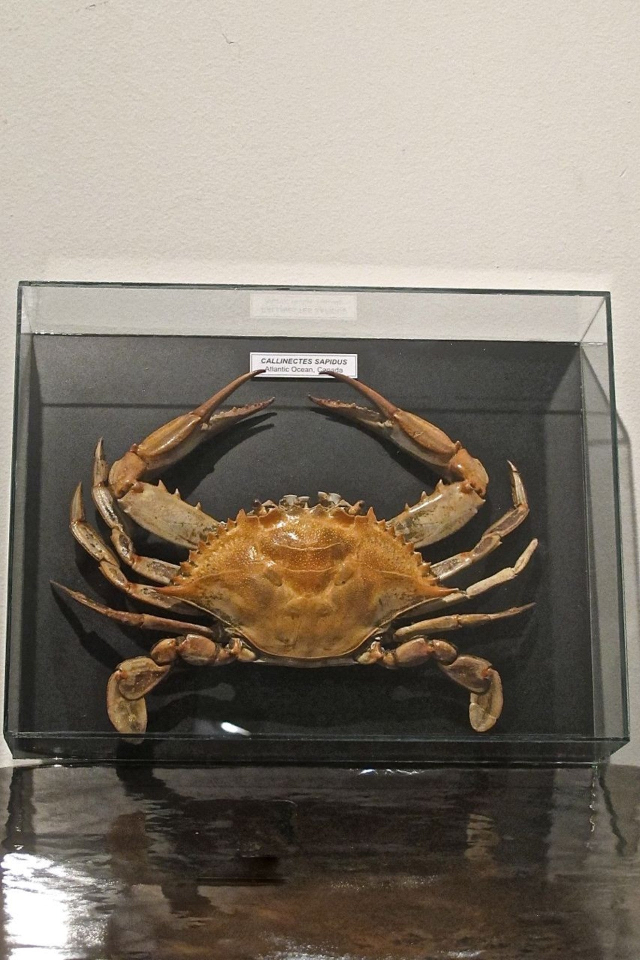 X Framed Taxidermy Crab in Frameless Glass Case