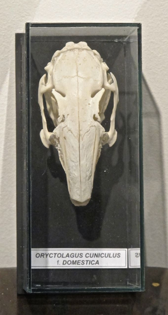 Laboratory prepared Skull  in frameless glass case
