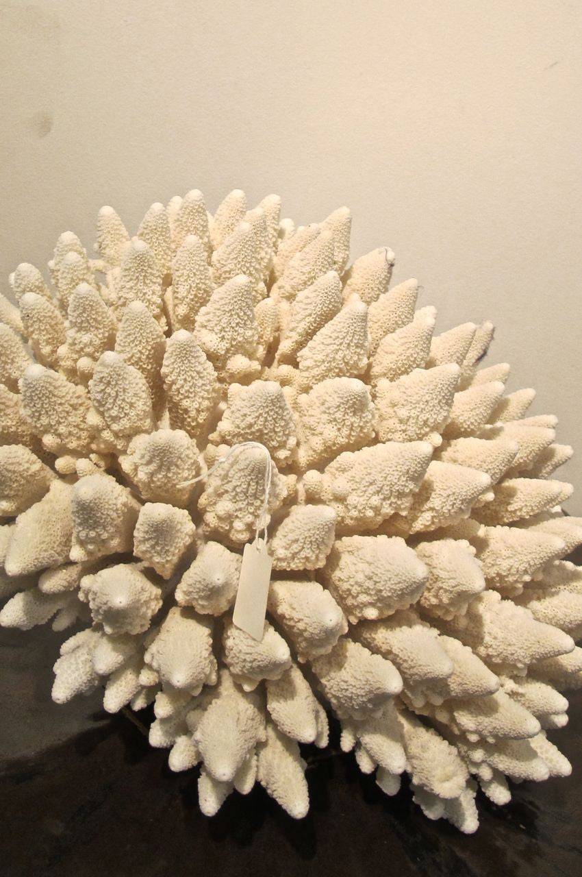 Large ' xmas tree' Coral  specimen