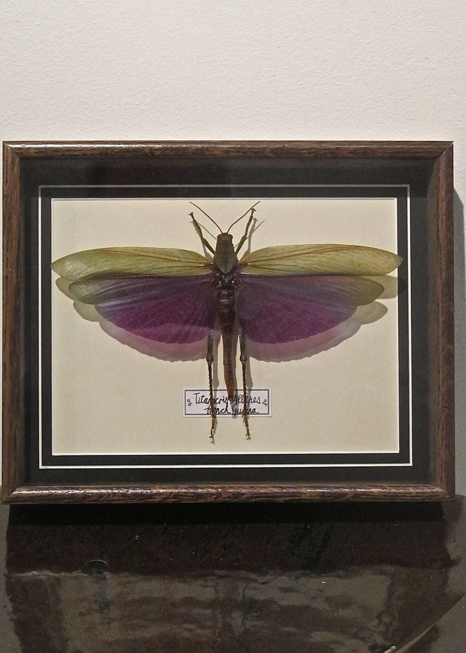 X Stunning taxidermy locust in bespoke oak frame.