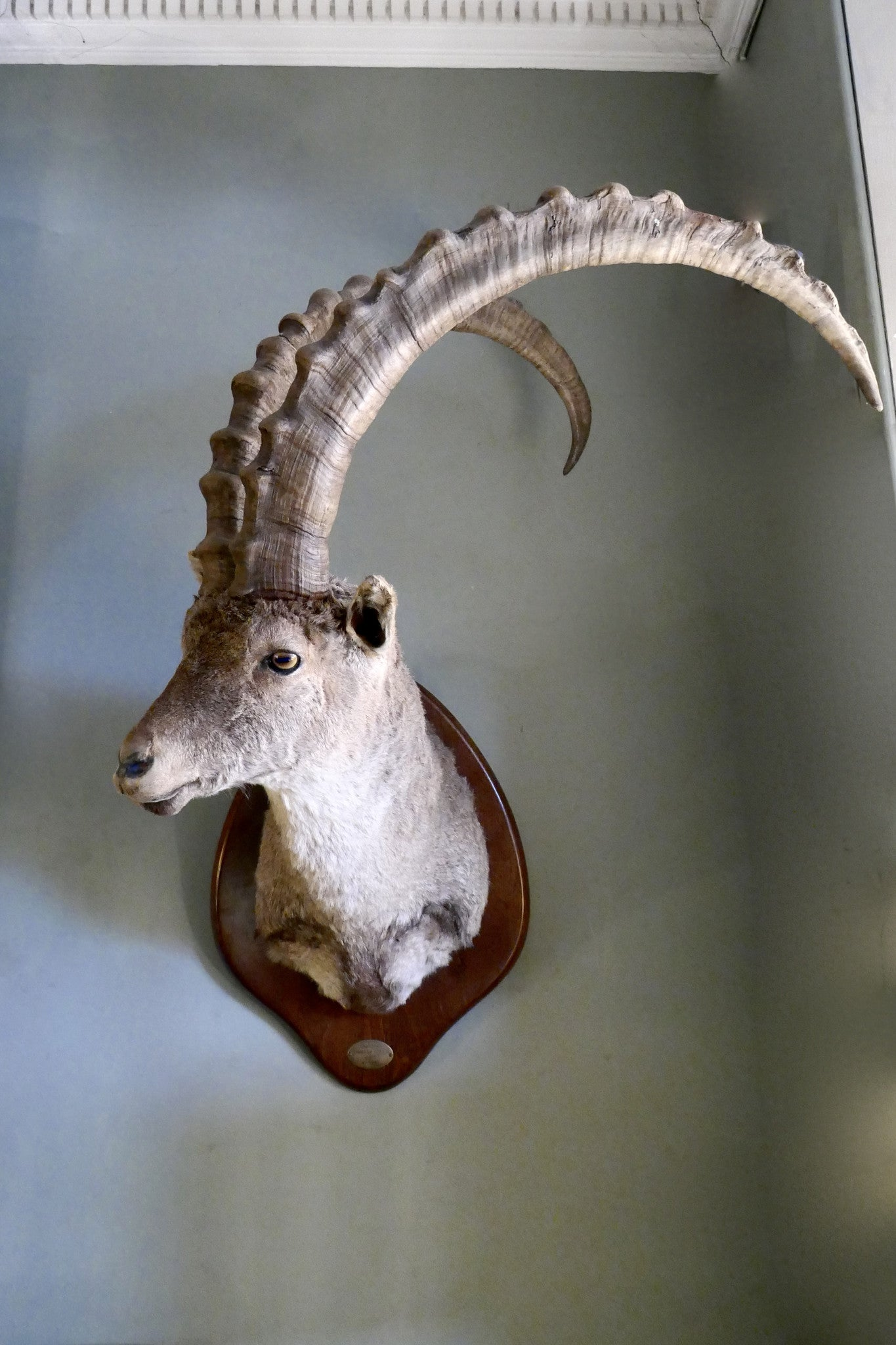 Mounted Ibex Head