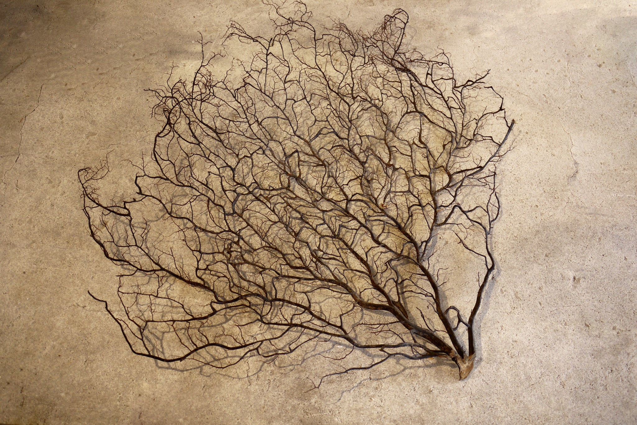 X Large Sea Fan