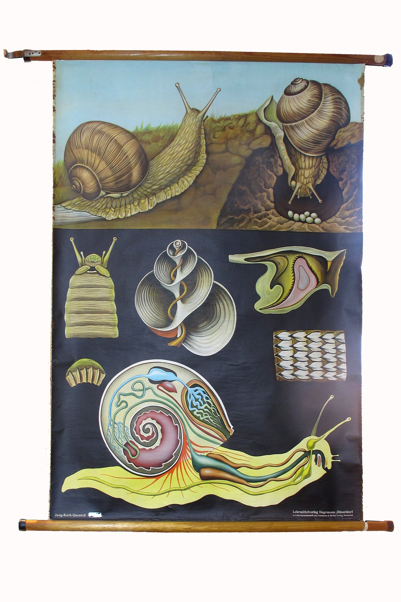 Large linen backed wall chart of snail , early 20th century.