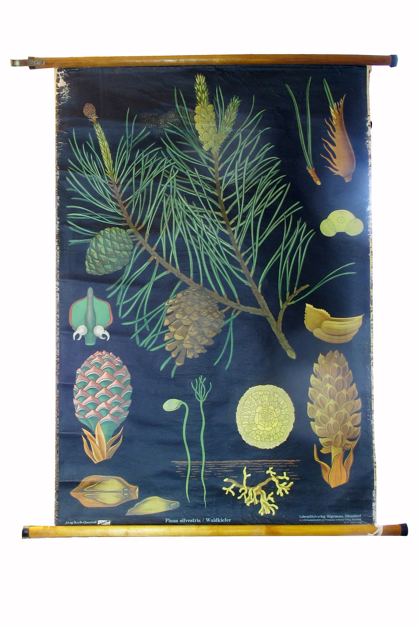 X Large linen backed wall chart of pine cones , early 20th century.