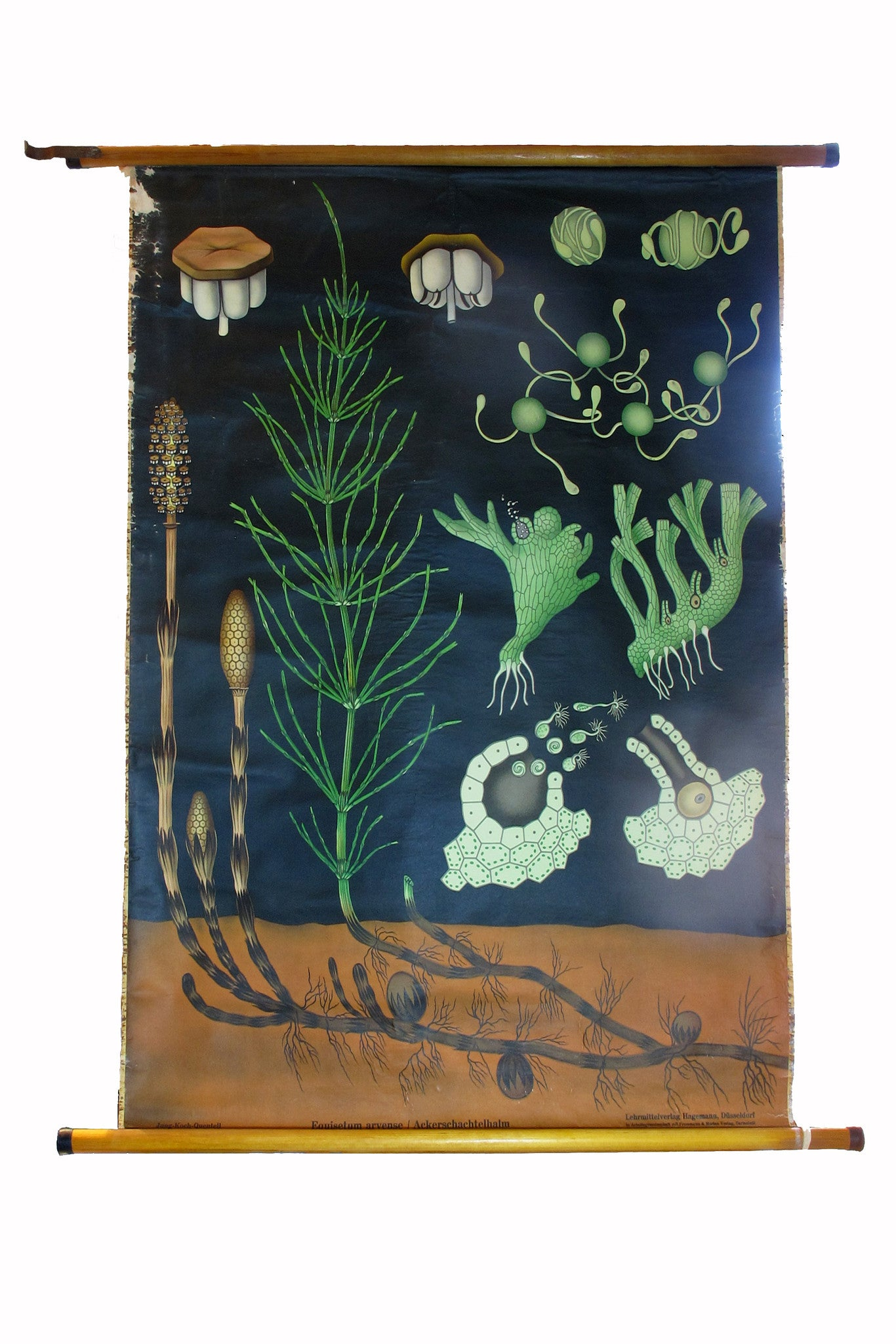 X Large linen backed wall chart of sea weed , early 20th century.