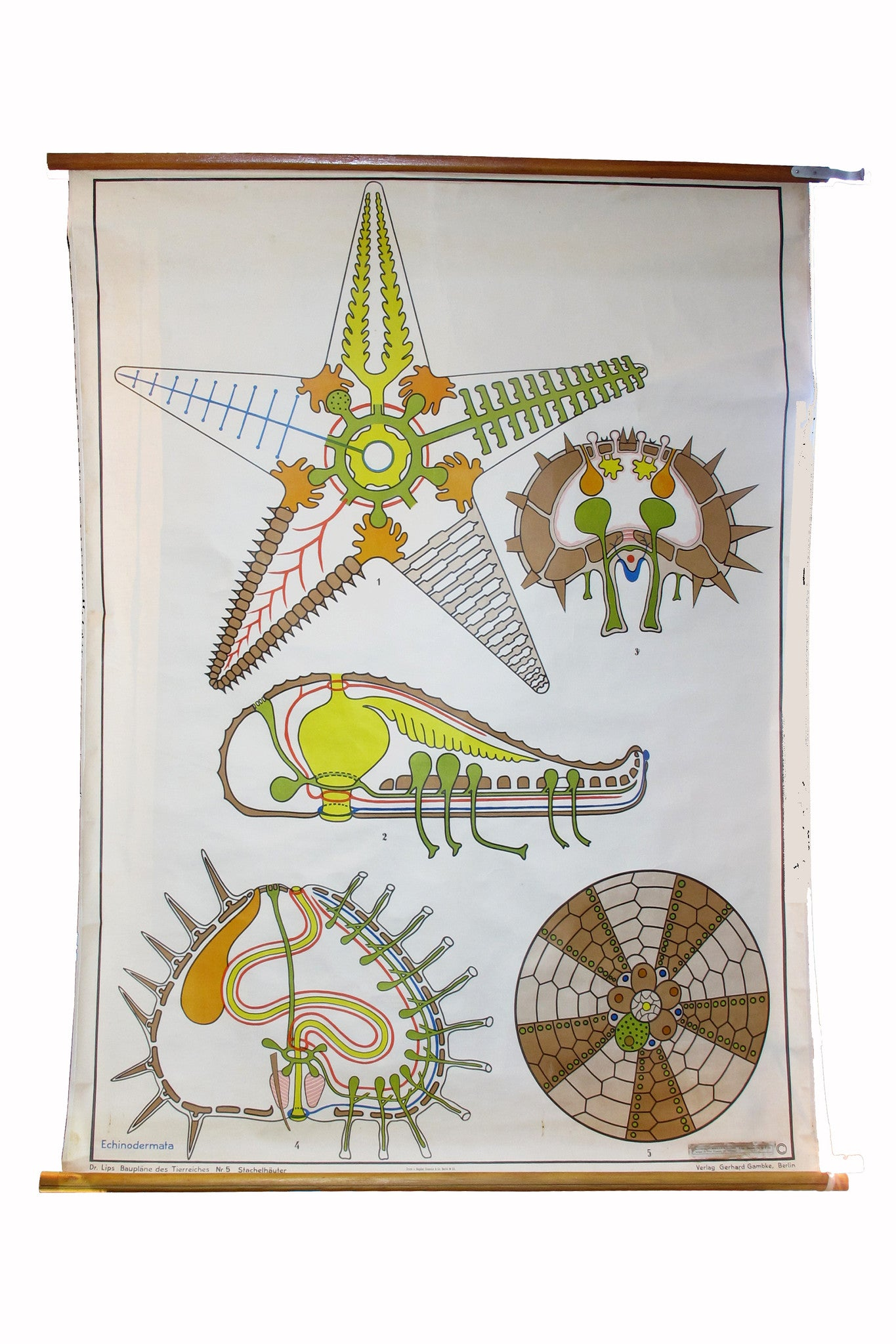 X Large linen backed wall chart of a starfish , early 20th century.