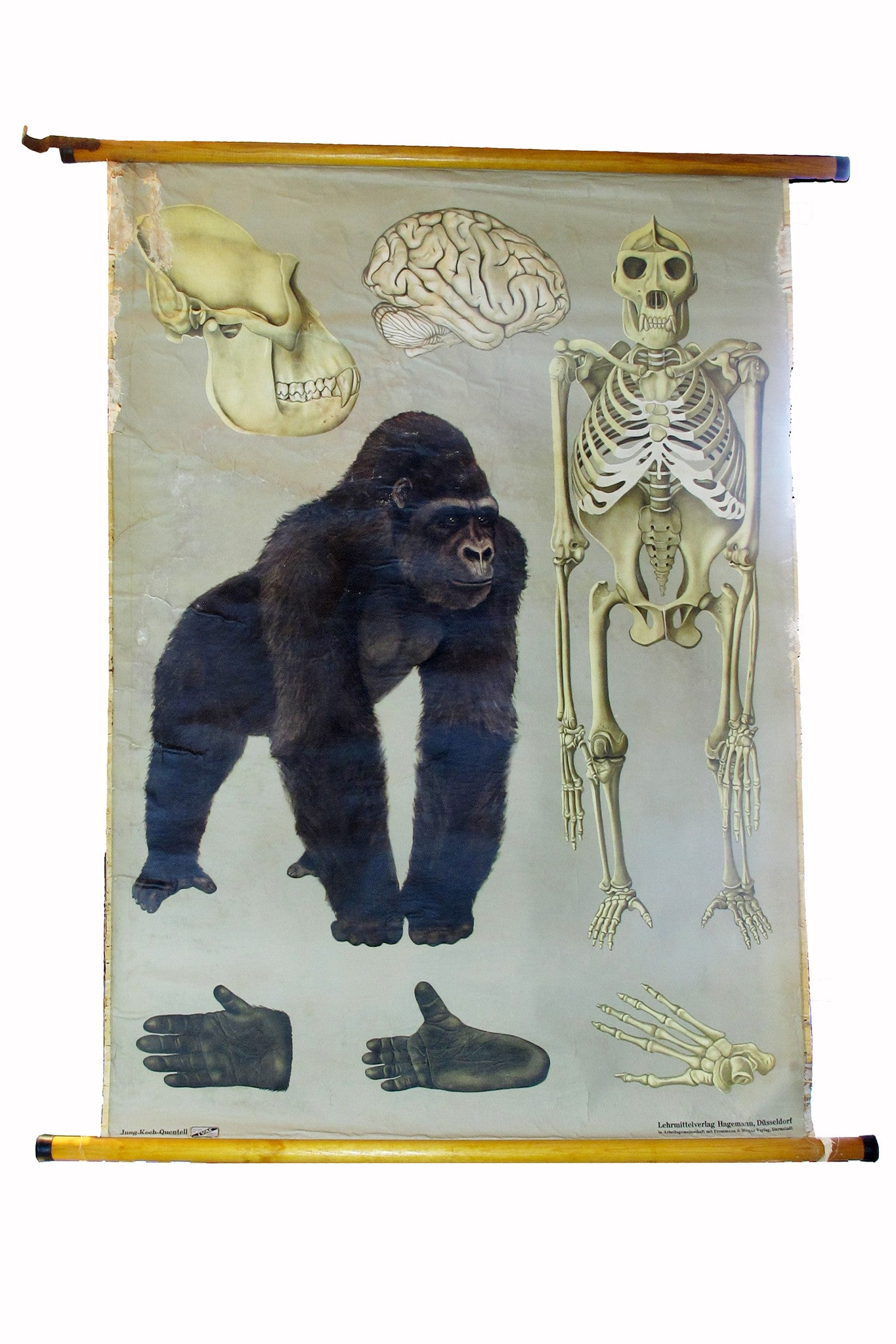 X Large linen backed wall chart of a study of a gorilla , early 20th century.
