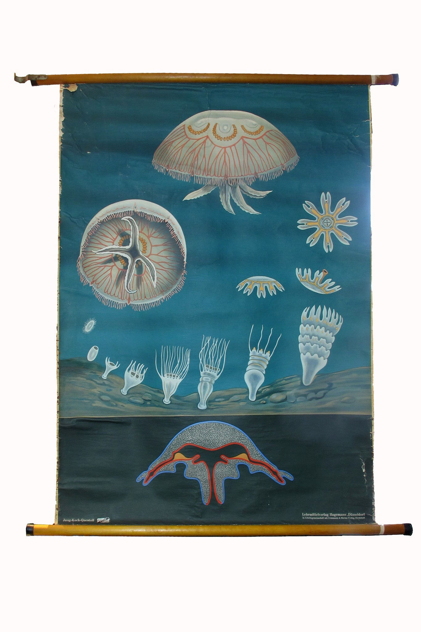 X Large linen backed wall chart of jellyfish , early 20th century.