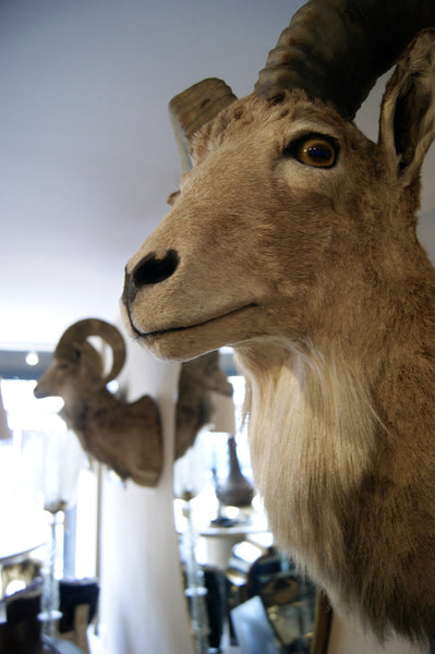 Matching Pair of Taxidermy Mountain Goats