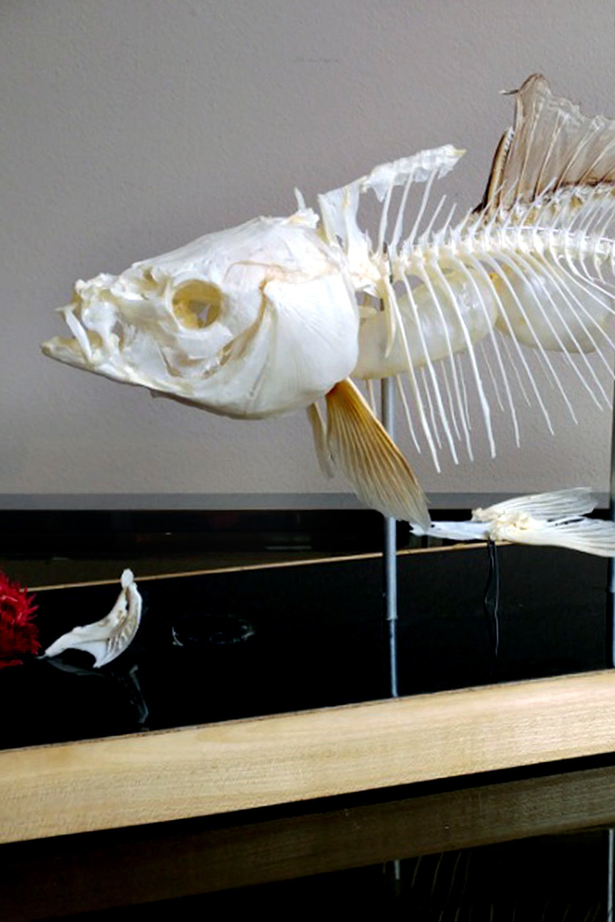 X Mounted Trout Skeleton with Preserved Gills