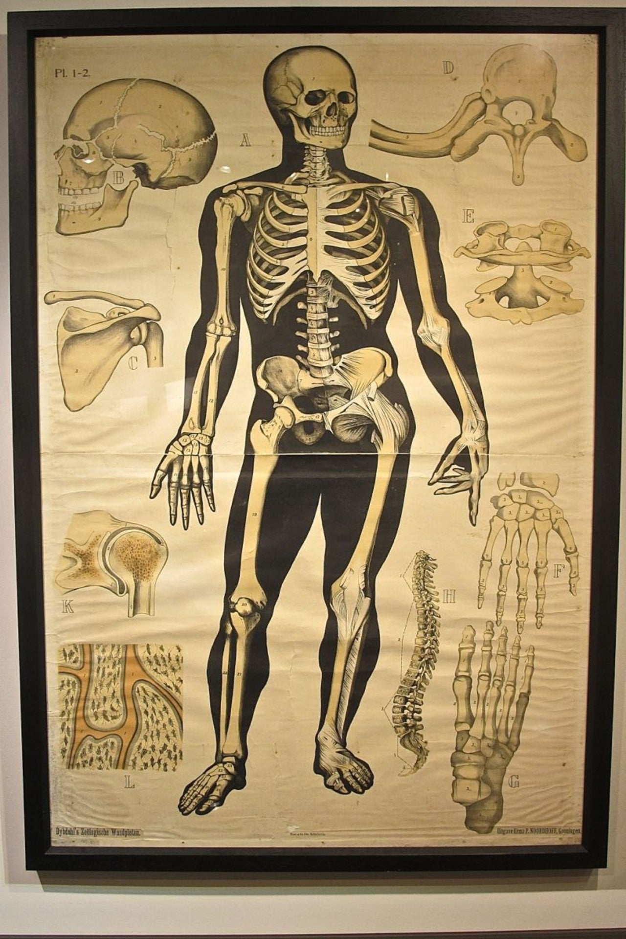 Early 20th Century Framed Human Skeleton Anatomy Poster Les