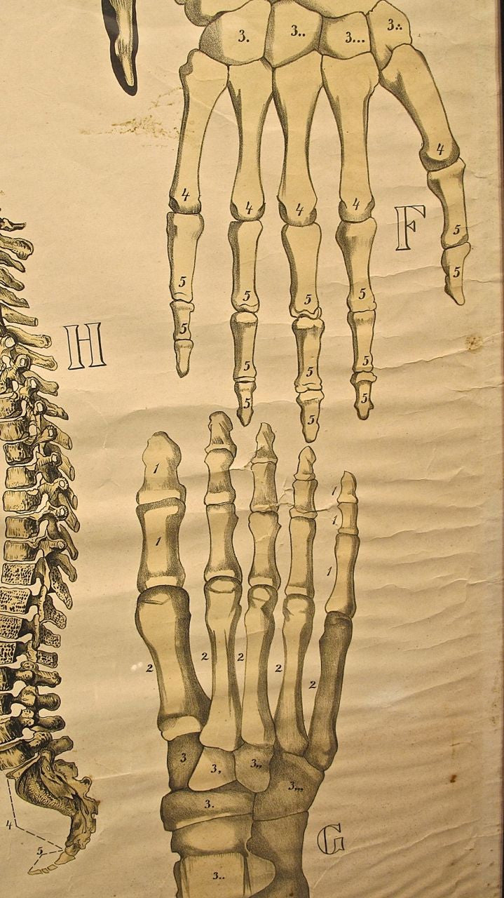 Early 20th century Framed Human Skeleton Anatomy Poster