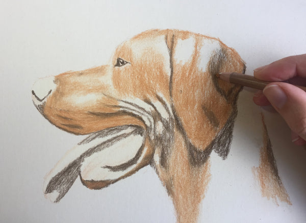 Learn to Draw a Hungarian Vizsla