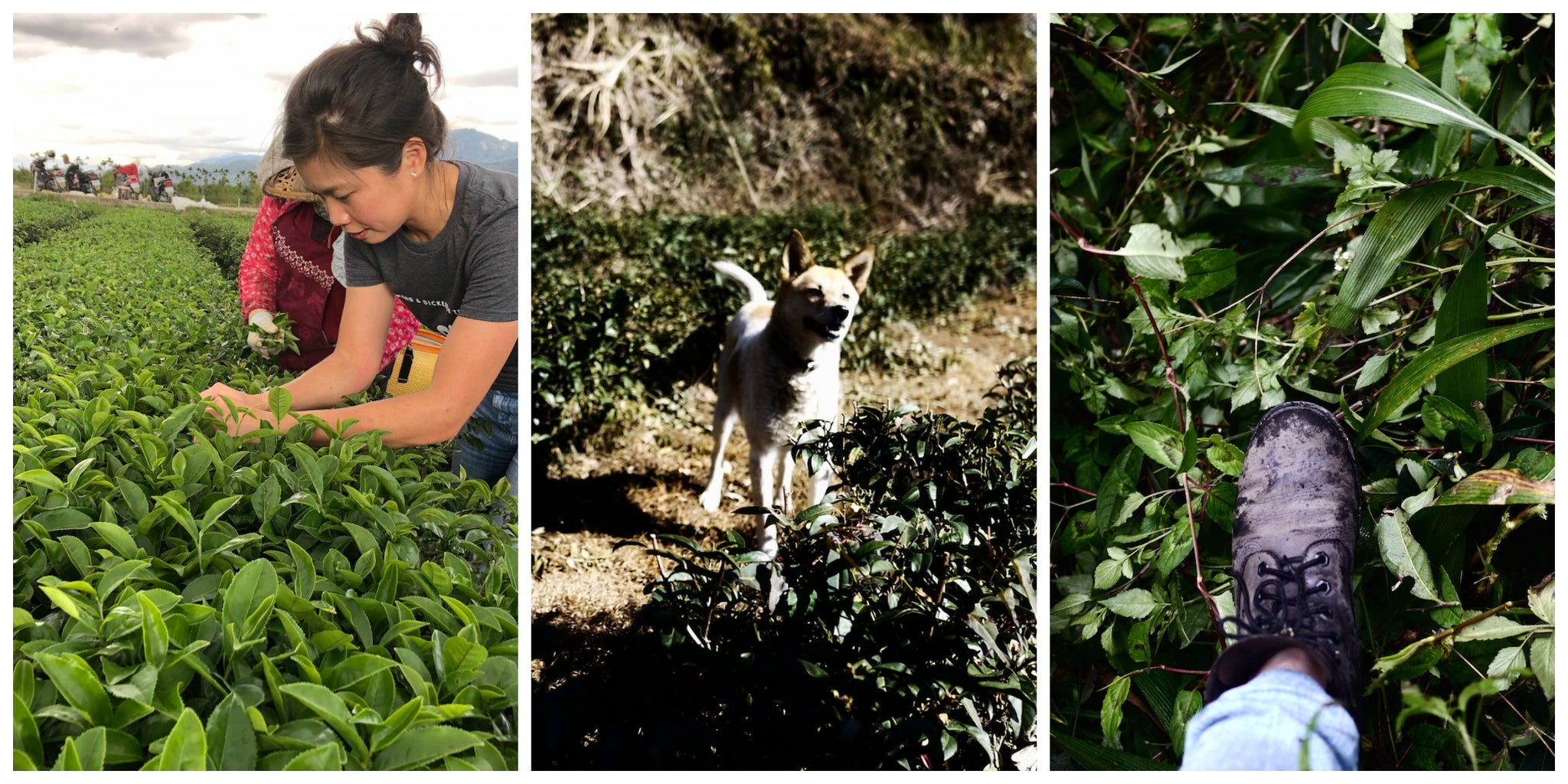 Organic Artisan Tea: The True Taste of Terroir