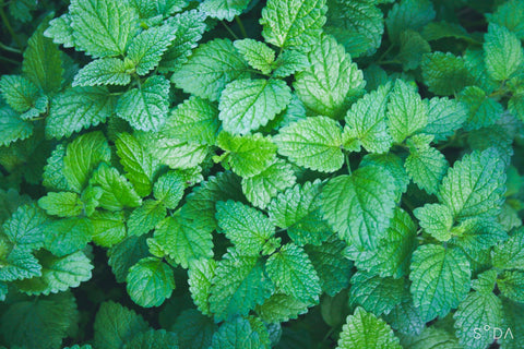 Organic Lemon Balm - Caffeine-Free herbal tea