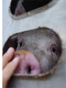 Toronto Pig Save - Pig to Slaughter