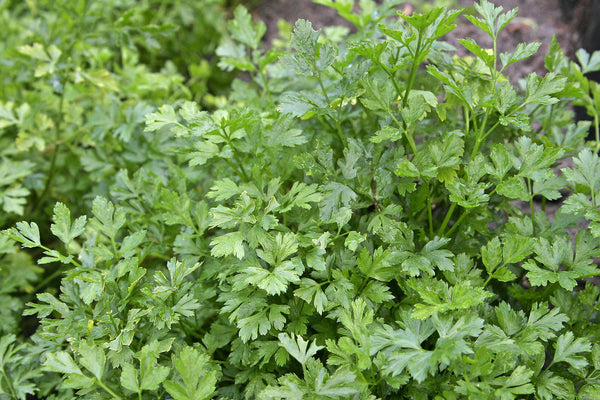 Parsley herb plant close up