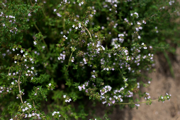 Close up of Thyme Herb plant