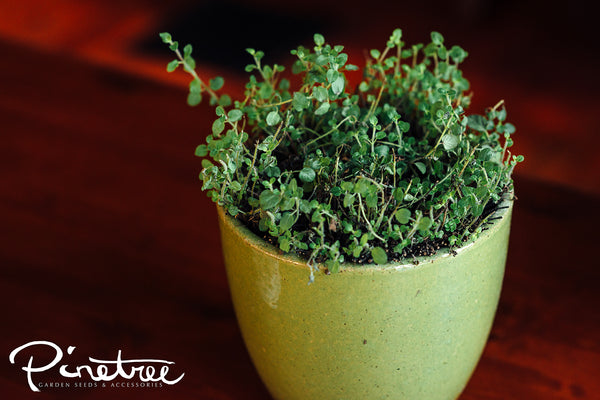 Oregano herb plant in a small green pot