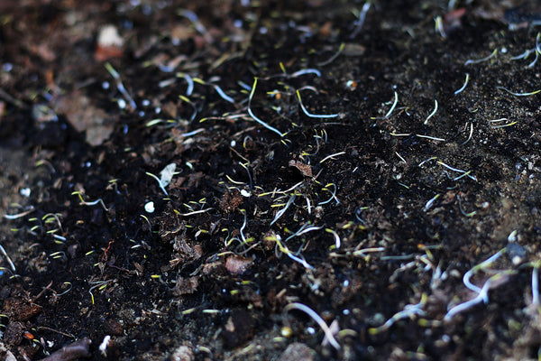 Close up of sprouting seeds in dirt