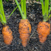 Orange Carrots underground