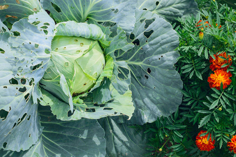 Pests eating cabbage in a backyard garden