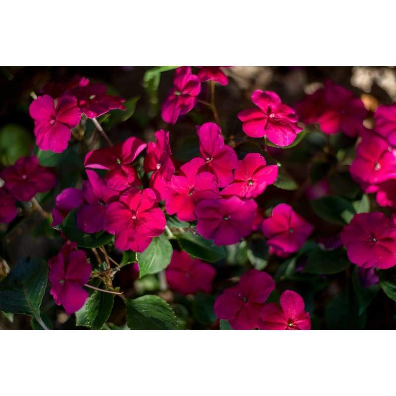 Accent Burgundy Impatiens - Flowers