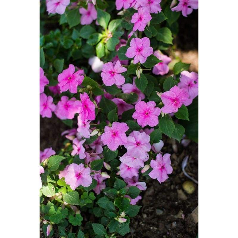 Accent Pink Impatiens - Flowers