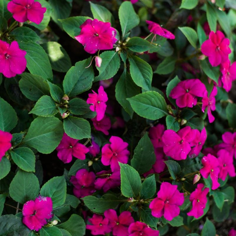 Accent Rose Impatiens - Flowers
