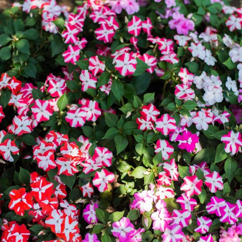 Accent Star Mix Impatiens