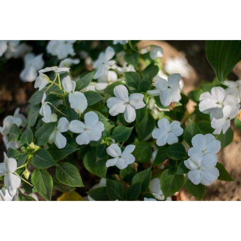 Accent White Impatiens - Flowers