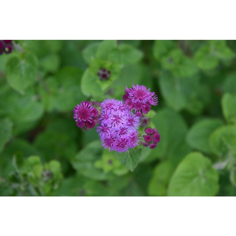 AGERATUM - RED SEA