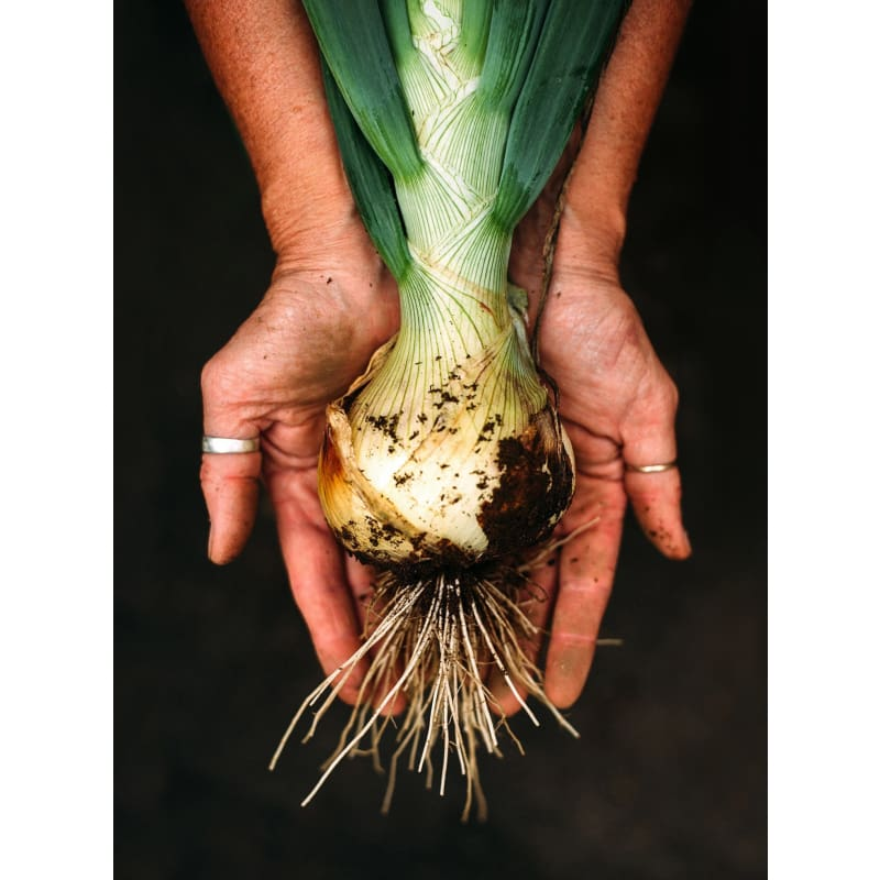 Ailsa Craig Exhibition Onion (Heirloom, 105 Days)