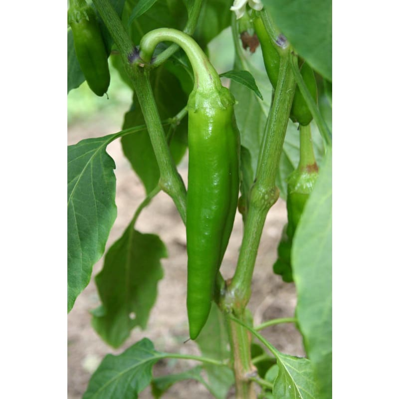 Anaheim Hot Pepper (Heirloom, 80 Days)