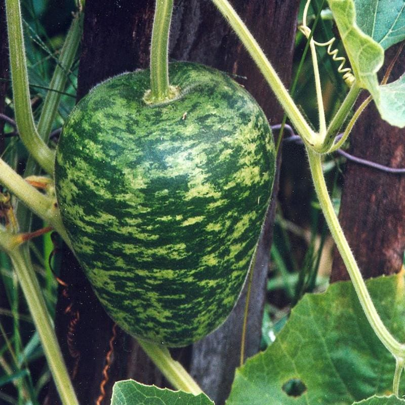 Apple Gourd (Heirloom 110 Days)